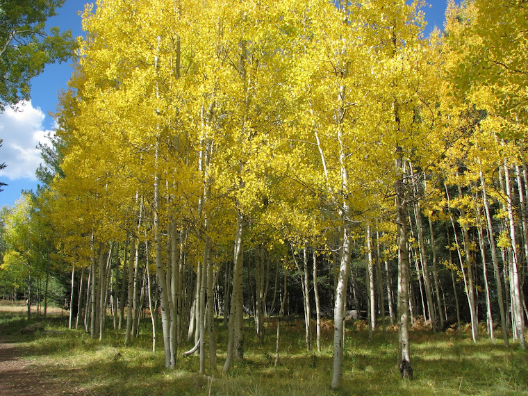 Aspens we saw on a hike.