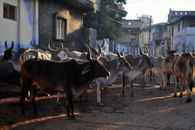 vadnagar narendra modi gujarat morning cows