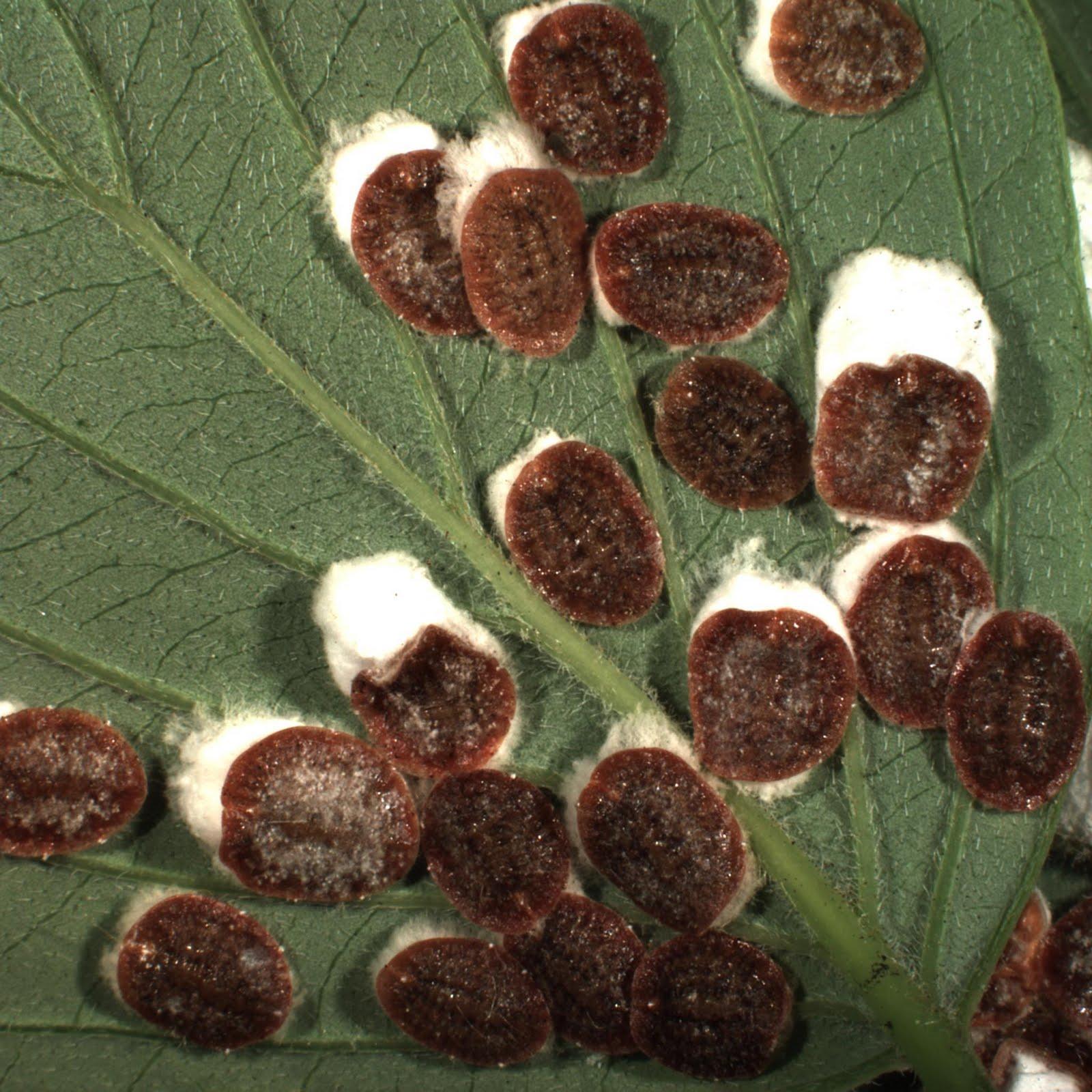 Cottony Maple Leaf Scale Ornamentals Diagnostics