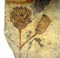 Investigadores Argentinos encontraron un fósil de una flor del grupo de las Asteracaea de más de 47 millones de años