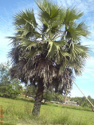 Asian Palmyra Palm (Toddy Palm) Tree