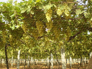Grape garden near skanda giri hills
