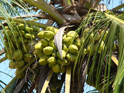 tender coconut on the tree