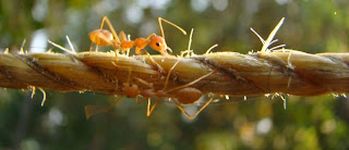 ants on a rope