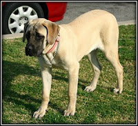 The English Mastiff
