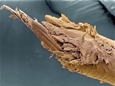 Pelo humano en microscopio