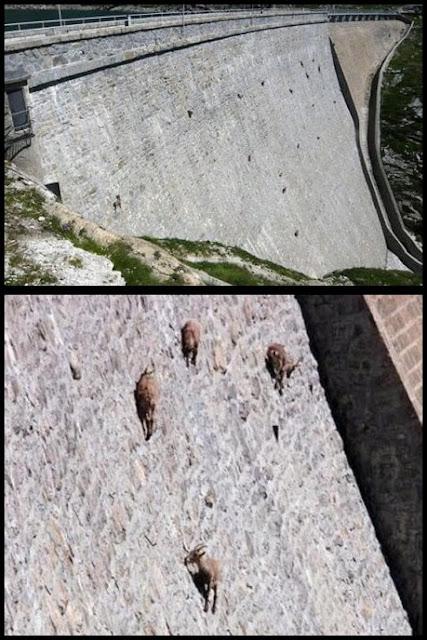Cabras locas trepando por el muro de un dique en Italia