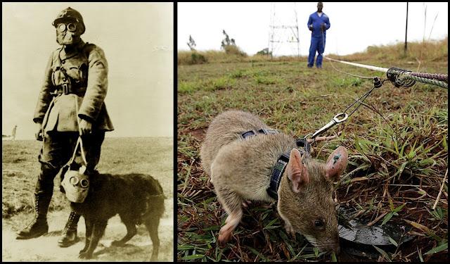 Animales que ayudaron en las guerras