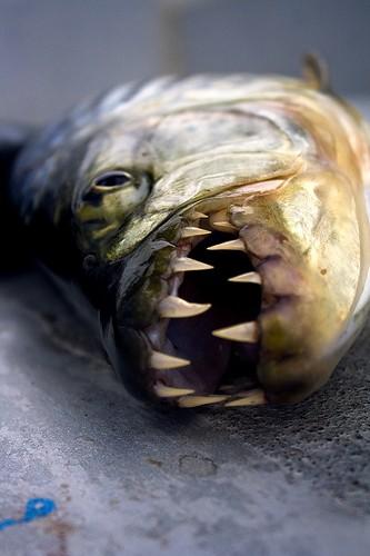 Enormes dientes del pez tigre