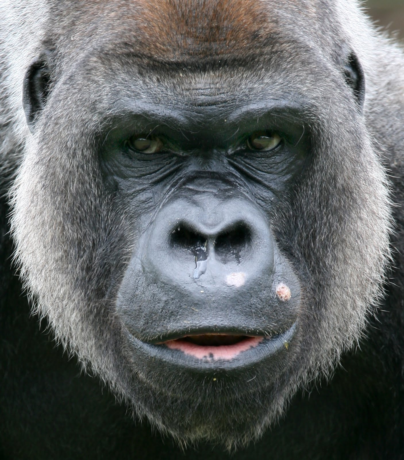 Gorilla face - photo#1