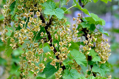 red currant flowers the red currant ribes rubrum is a