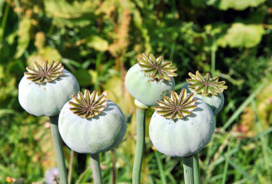 Opiate Plant North Fife: Opium Popp...