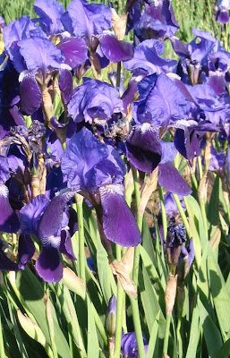 iris de van gogh I+germanica+var+vulgaris+1810
