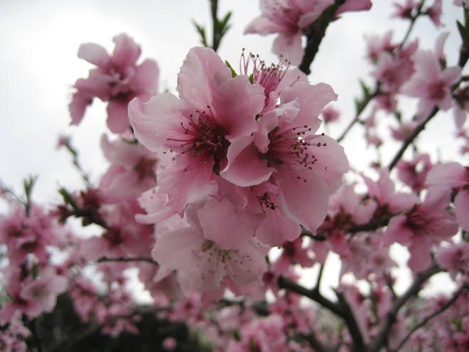 Apple Blossoms!