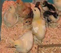 Meraup Keuntungan dari Anakan Ayam kampung
