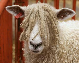 rasta sheep