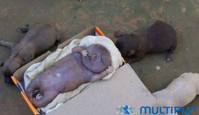 Anak Anjing Berwajah Manusia.alamindah121.blogspot.com