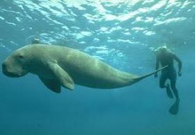 dugong wideweb  470x307,0 Legenda Mermaid dan Merman dari masa ke masa