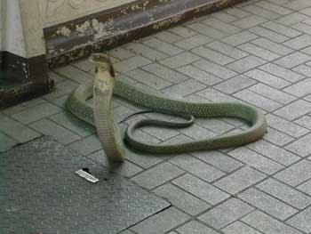 Hoax foto ular kobra berkepala lima dari Karnataka One-head-cobra-2