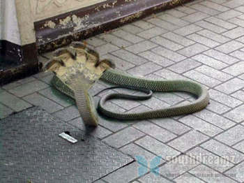 Hoax foto ular kobra berkepala lima dari Karnataka 5HeadSnake_3