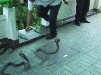 Hoax foto ular kobra berkepala lima dari Karnataka Siamese_cobras