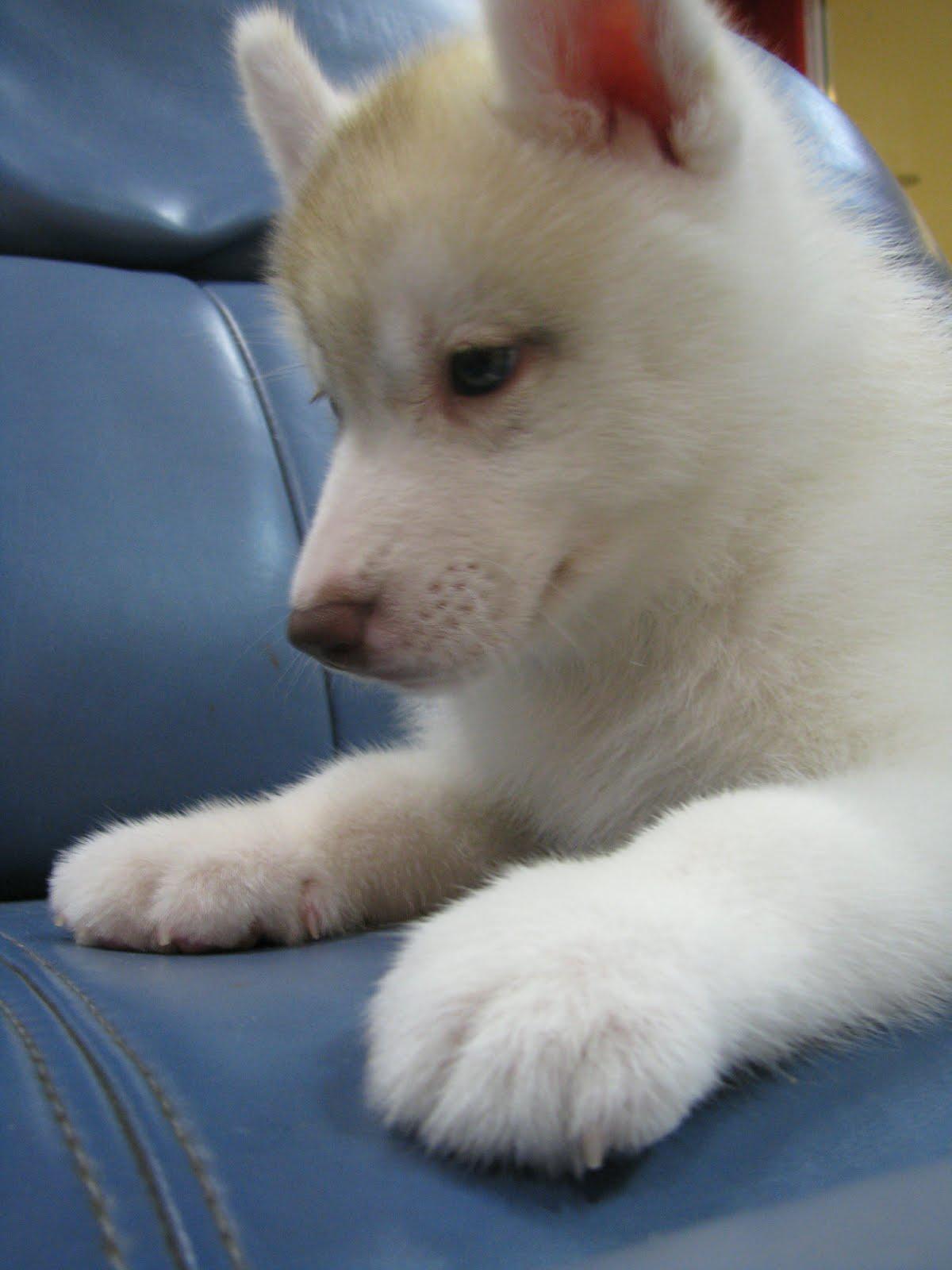 how to house train a siberian husky puppy