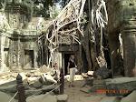 Trädrötter växer över tempel i djungelstaden Angkor II, Kambodja