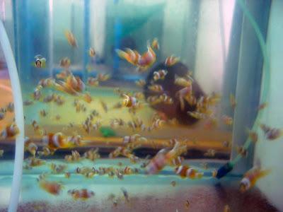 aquaflash 44 Cmo reproducir peces payaso