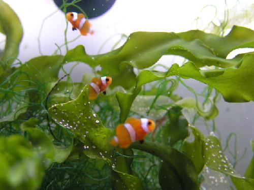 Lindos animales pez payaso for Alimento para peces acuario
