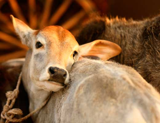 the indian and the hundred cows The indian and the hundred cows this short story by anaya contains a strong message, description and dialogue to emphasize the faith people live by and the paradox and saying something you.