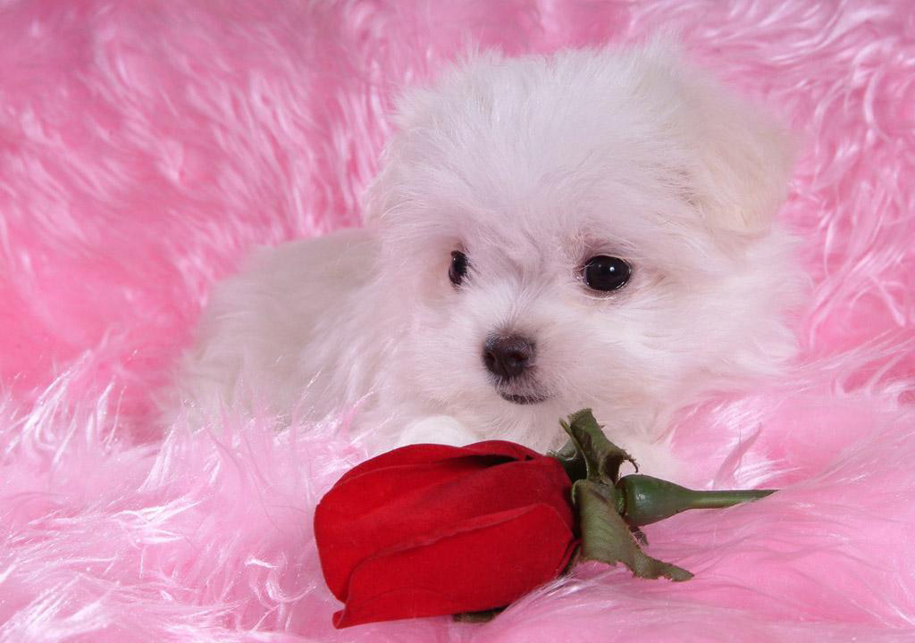 Soccer And Beauty Really Very Cute White Puppies