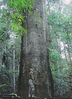 pohon ulin raksasa