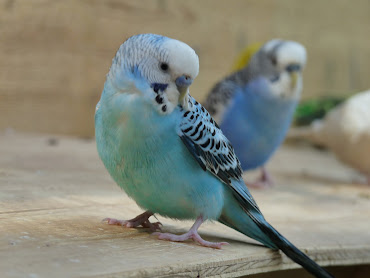 #6 Budgerigar Wallpaper