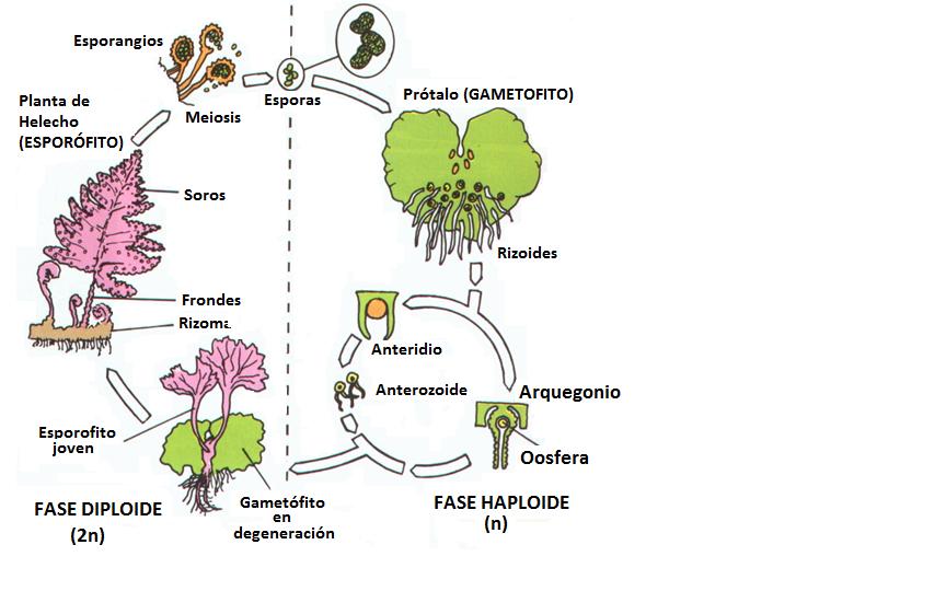 Ciencias naturales mayo 2010 - Cuidados de los helechos ...
