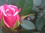 En ros från min älskade dotter