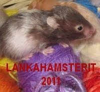 Hamsterinappi 2011