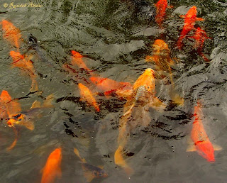 Goldfish at Dewi Sri Goddess of Rice Pond