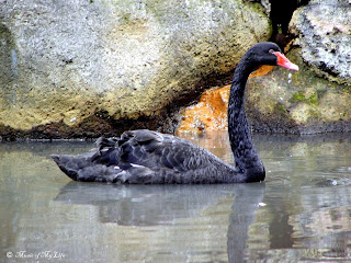 Black Swan © 2009 by M.Faisal K.