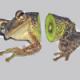The Kiwi Frog