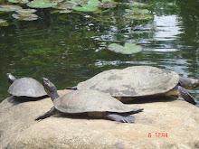 la laguna y las tortugas
