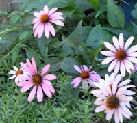 Photo of purple coneflowers.