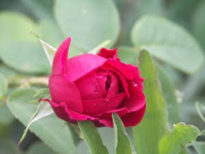 Photo of a red rosebud surrounded by leaves.