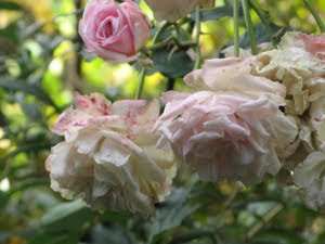 Photograph of drooping pink roses.