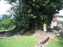 Gwaango Tree
