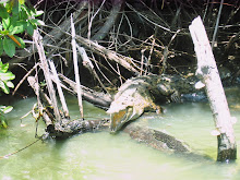 Black River crocodile
