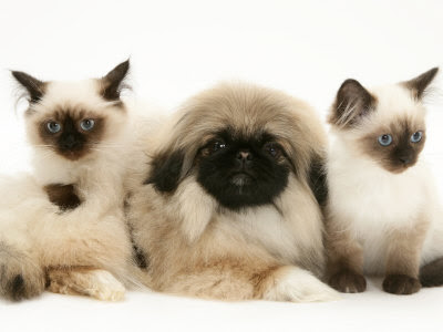 not andpekingese puppies