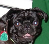 TaZzi, my sweet black Pug & travelin' partner!