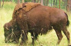 a bison of South Dakota