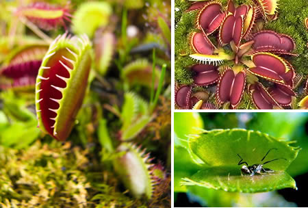 Tanaman Karnivora, Dionaea Muscipula
