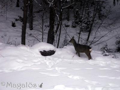 Rådjur i skogskanten